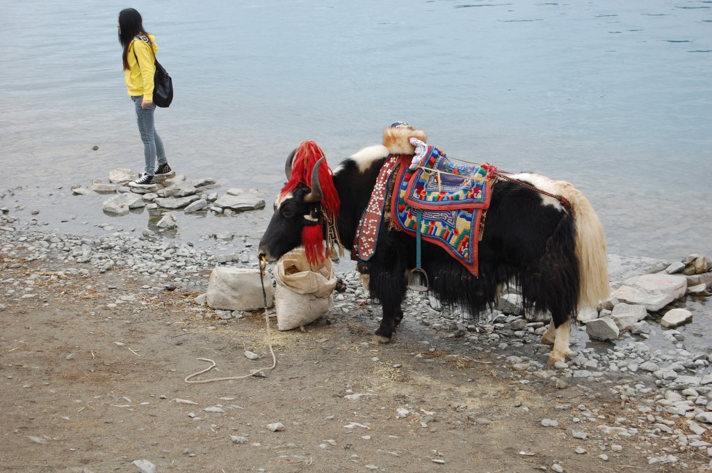Dressed up yak at the lake, for tourist pictures